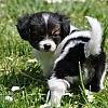 Фален – порода маленьких домашних собачек